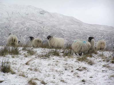 sheep-in-snow.jpg